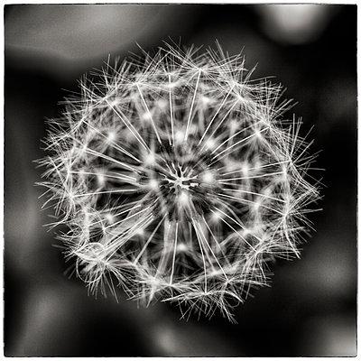 Dandelion close-up - p1154m1110147 by Tom Hogan