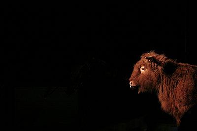 Stier in der Manege - p1650m2230878 von Hanna Sachau