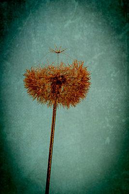 Golden dandelion - p451m2281195 by Anja Weber-Decker