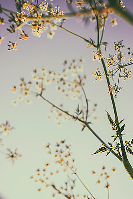 Wild flowers against the light - p879m2210714 by nico