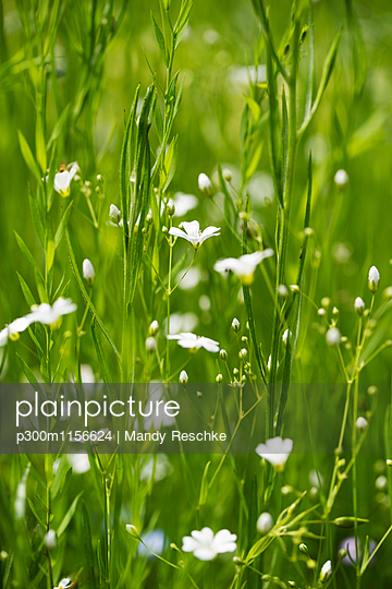 Flower meadow, white flowers