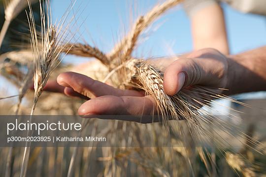 Man's hands holding wheat ears - p300m2023925 von Katharina Mikhrin