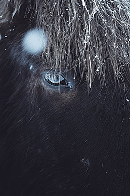 Portrait of an Icelandic Horse - p1634m2210380 by Dani Guindo