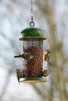 Blue Tit group on feeder - p884m863759 by Stephen Dalton