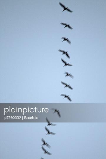 Vogelzug der Kraniche - p7390332 von Baertels