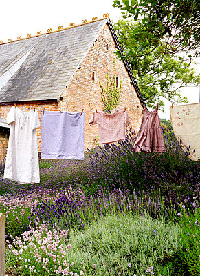 Clothes on line in lavender garden;  Isle of Wight;  UK - p349m920083 by Rachel Whiting