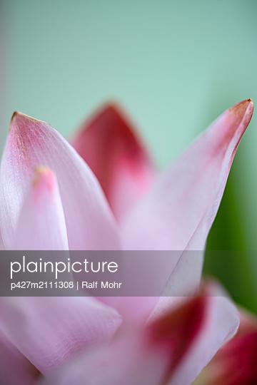 Curcuma blossom - p427m2111308 by Ralf Mohr