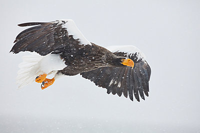 Steller's Sea Eagle, Haliaeetus pelagicus)mid-air, winter. - p1100m1520132 by Mint Images
