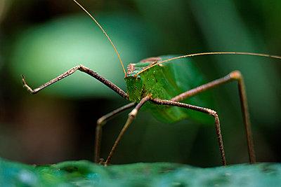 Katydid, Tettigoniidae family, Sabah, Borneo - p1100m875129 by Frans Lanting