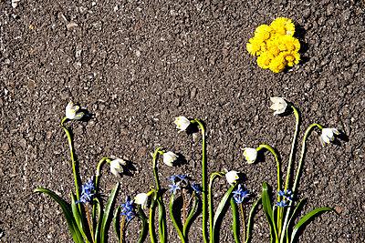 Flowers arranged on asphalt - p5330278 by Böhm Monika