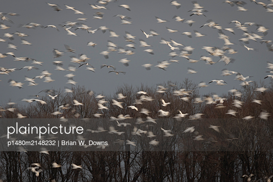 Snow Geese blast off from a field - p1480m2148232 by Brian W. Downs