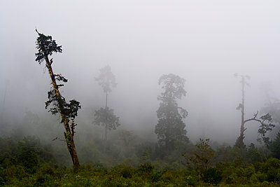 Trees in the fog at Tamang Heritage Trail  - p1369m1425628 by Chris Hooton