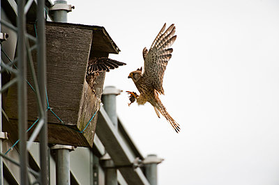 Birdhouse with falcons - p575m1074569f by Fredrik Schlyter