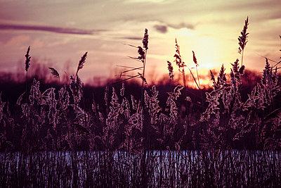 Sonnenuntergang mit Schilf - p1199m1538842 von Claudia Jestremski