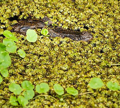 Caiman (Caiman crocodilus) - p343m1130292f by Josh Miller Photography