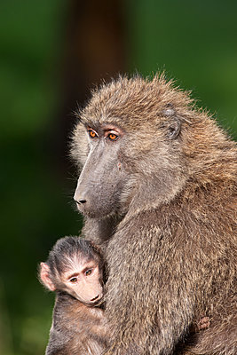 Baboon with young - p533m1152660 by Böhm Monika