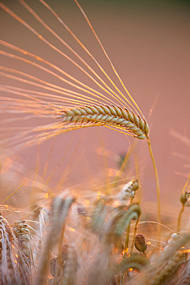 Wheat at sunset - p533m1525221 by Böhm Monika