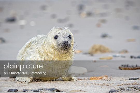 Germany, Schleswig-Holstein, Helgoland, Duene Island, grey seal pup (Halichoerus grypus) lying on the beach - p300m2213760 by Fotofeeling