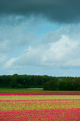 Bulb fields  - p1132m925508 by Mischa Keijser