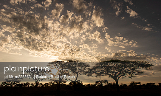 Umbrella tree Serengeti - p1691m2288631 by Roberto Berdini Bokeh