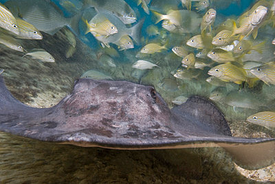 Stingray, Cozumel, Mexico, Caribbean, North America - p871m731923 by Antonio Busiello