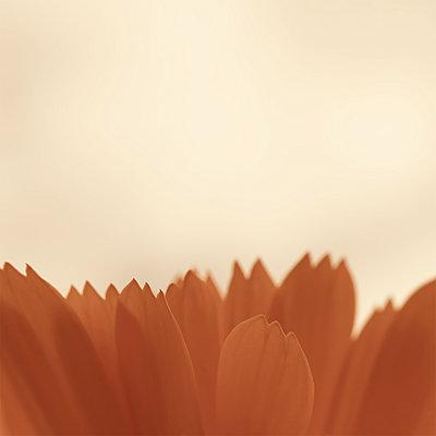 Apricot - p1578m2157525 von Marcus Hammerschmitt