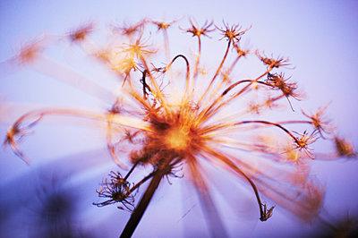 Daucus carota - p1661m2245370 by Emmanuel Pineau