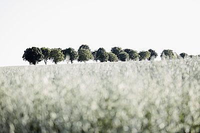 Baumreihe mit Haferacker - p719m1444461 von Rudi Sebastian