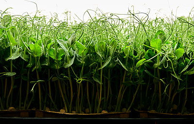 Side view of tightly packed pea seedlings growing in urban farm - p1100m2271564 by Mint Images