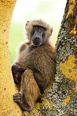 Baboon - p533m899163 by Böhm Monika