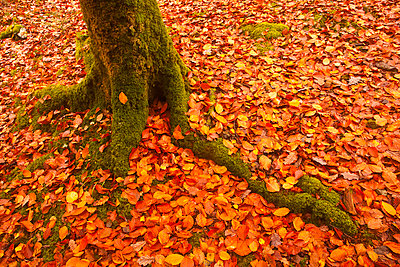 Autumn leaves in Charles Wood, Dartmoor National Park, Devon, England, United Kingdom, Europe - p871m807587 by Julian Elliott