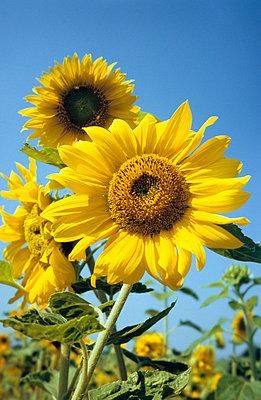 Sonnenblumen mit Himmel - p2370108 von Thordis Rüggeberg