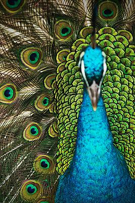 Peacock - p1149m995673 by Yvonne Röder