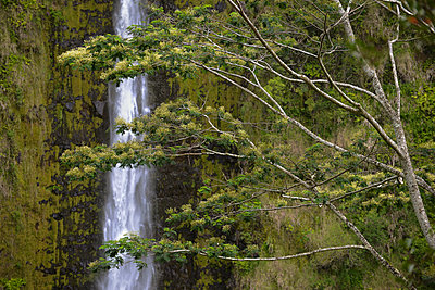 A Flowering Tree Rises In The Foreground Of Akaka Falls On The Big Island Of Hawaii - p343m1223846 by Matt Gragg