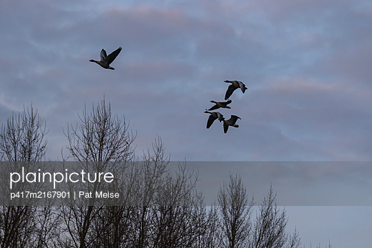 Goose - p417m2167901 by Pat Meise