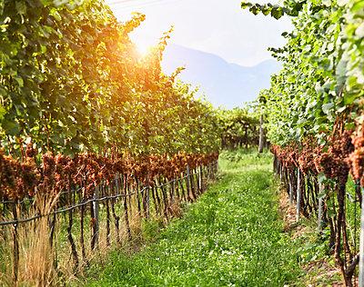 Row in vineyard - p555m1444280 by Walter Zerla