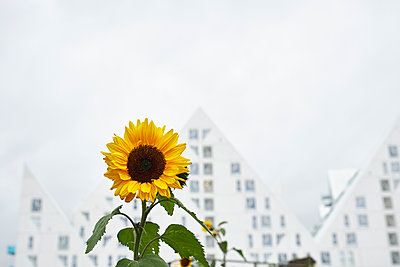 Sunflower - p851m1528923 by Lohfink