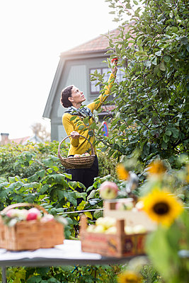 Woman picking apples in garden, Stockholm, Sweden - p312m927128f by Ulf Huett Nilsson