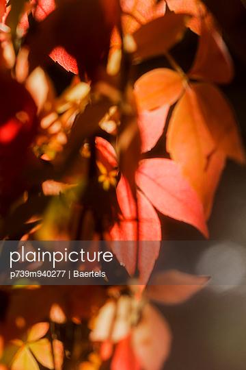 Wilder Wein mit Herbstfärbung - p739m940277 von Baertels