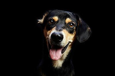 Close-up portrait of dog panting against black background - p1166m1555712 by Cavan Images