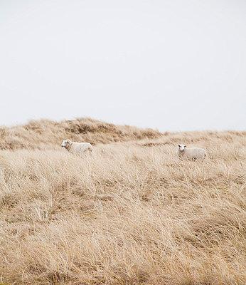 Schafe auf der Düne - p993m823489 von Sara Foerster