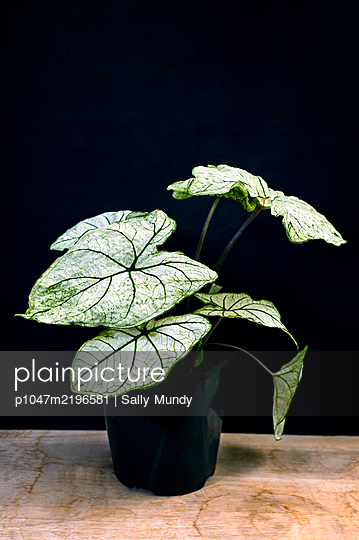 Caladium angel wings plant growing in pot on water stained wooden table against black background - p1047m2196581 by Sally Mundy