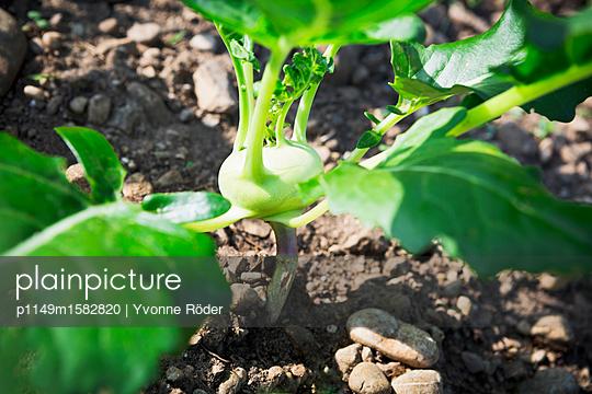 Kohlrabi im Garten - p1149m1582820 von Yvonne Röder