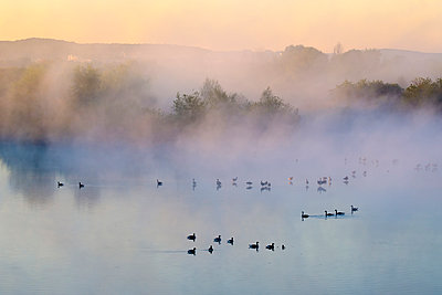 Germany, Franconian Lake District, grey gooses on Altmuehlsee at morning mist - p300m1487400 by Martin Siepmann
