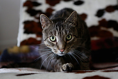 Cat on the sofa - p1221m2053735 by Frank Lothar Lange