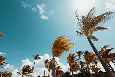 Palm trees under blue sky, Poste de Flacq, Mauritius - p1598m2164122 by zweiff Florian Bier