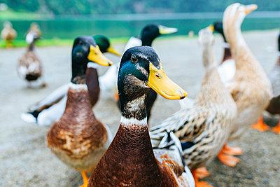 Portugal, Azores Islands, Sao Miguel, wild ducks - p300m2083606 by Kiko Jimenez
