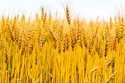 Close-up of several golden wheat heads in a field, South of Calgary; Alberta, Canada - p442m2091714 by Michael Interisano