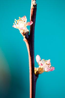 Cherry blossom - p958m2116816 by KL23