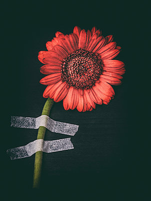 Taped flower - p971m1425429 by Reilika Landen